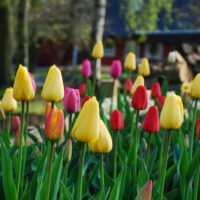 Tulipaner i blomst på Pyttegården ferielejligheder